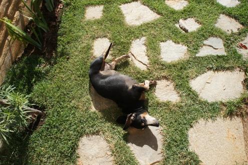 Mi, cachorra do meu sogro, tomando um banho de sol.